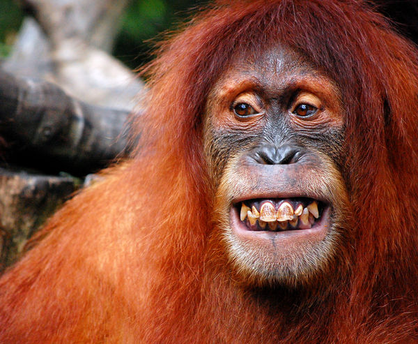 orangutan smiling teeth tooth truth centre for mindfulness studies